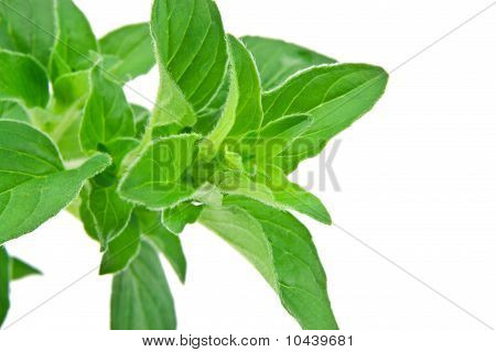 Fresh Oregano Leaves Isolated