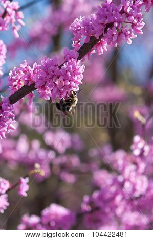 Bumble Bee Pollinates Pink Blossom On Eastern Redbud Tree
