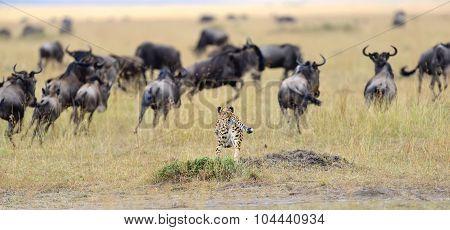 Cheetah Pursuit A Wildebeest