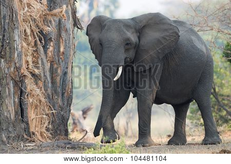 A Female African Elephant With One Tusk Returning To Eat The Bark From A Baobab Tree