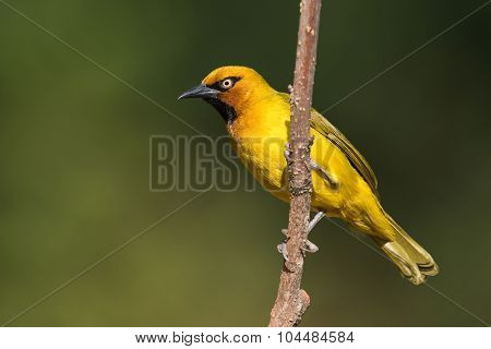 Spectacled Weaver (ploceus Ocularis) Male Perched On A Slender Trunk