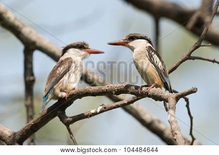 Striped Kingfisher Pair (halcyon Chelicuti) Perched On A Branch