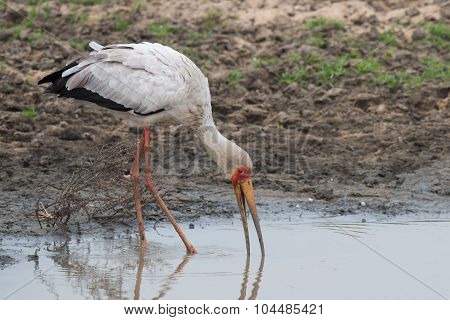 Yellow-billed Stork (mycteria Ibis) Probing With Its Bill For Food