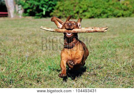 Dog brings a stick.