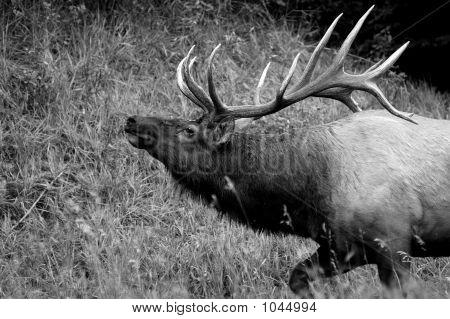 Bull Elk In Jasper