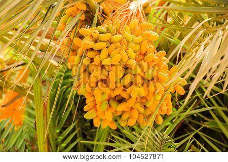 Unripe Dates On The Palm