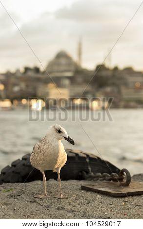 Seagull In Istanbul