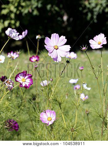 Pink Kosmeya Flowers In The Garden