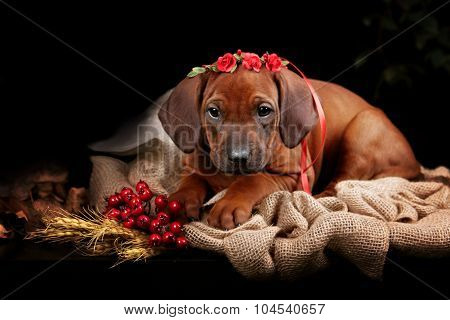 Rhodesian Ridgeback dog resting in front of black background