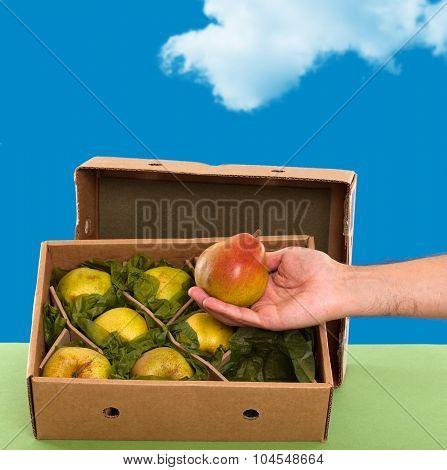 Freshly picked Williams (Bartlett) pears in box