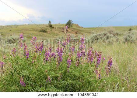 Purple Loco, Oxytopis Lambertii, Prairie Wildflower In The Western United States Of America