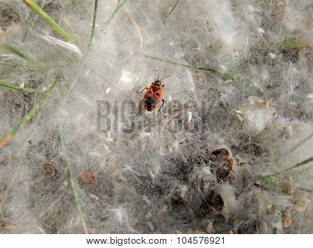 Firebug In The Poplar Seed Tufts