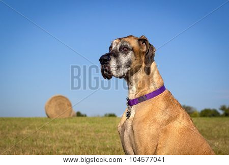 Noble looking fawn great Dane sitting in field with hay bale looking left