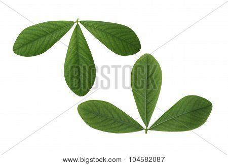 False Indigo Leaf