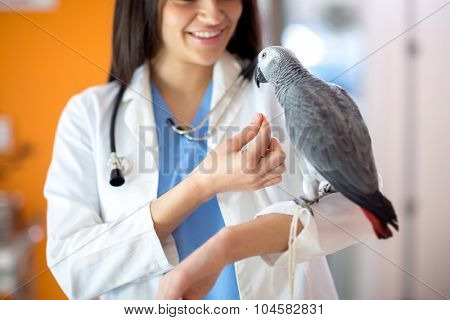 Beautiful  young veterinarian feeding African gray parrot in vet clinic