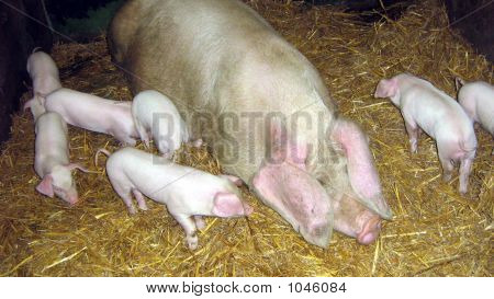 Pigs. Piglets And Sow In Farm