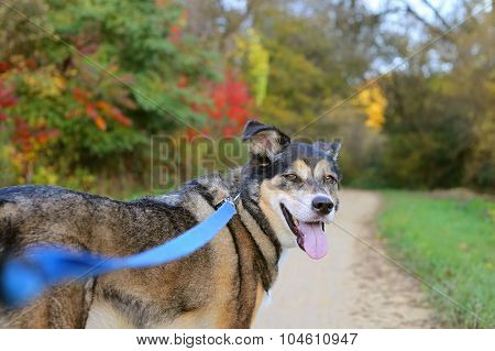 Beautiful German Shepherd Dog Walking On Trail