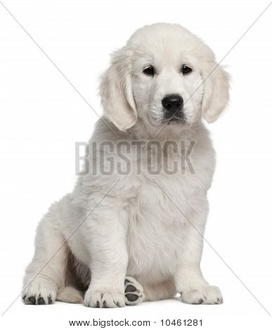 Golden Retriever Puppy, 10 Weeks Old, Sitting In Front Of White Background