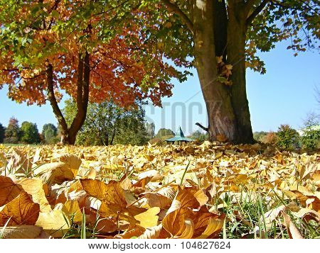 Fallen Leaves Under The Maples