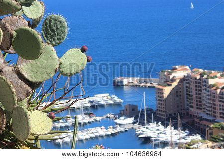Prickly Pear Cactus In Monaco