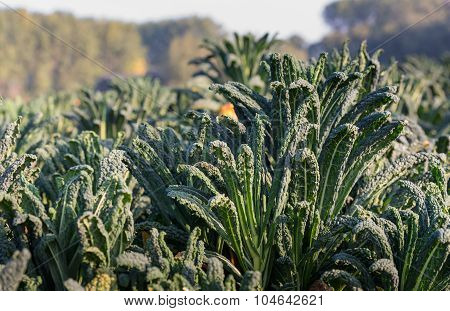 Tuscan Kale Plants In The Field