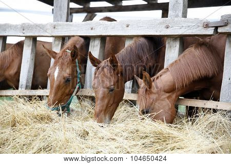 Thoroughbred Horses In The Paddock Eating Dry Grass