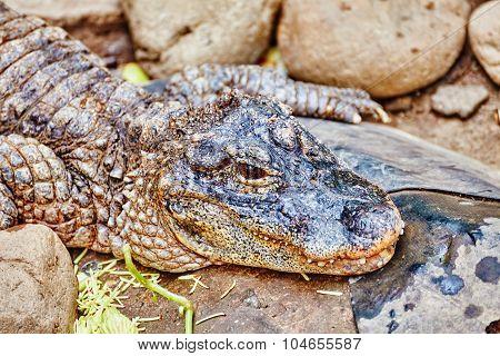 Wildlife Crocodile.
