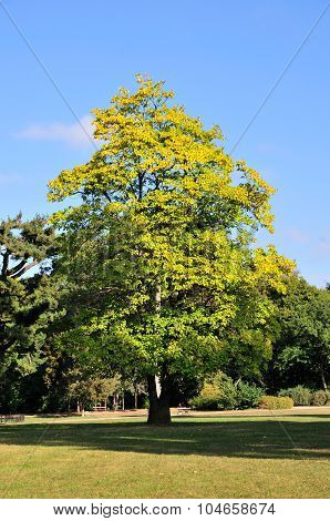 Autumn day in the park in October.Catalpa tree.