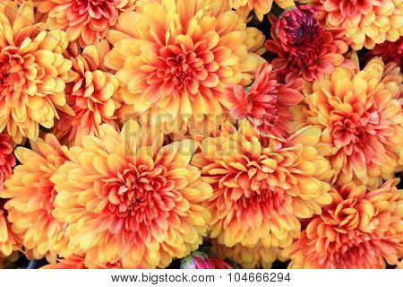 Blooms Of Colorful Fall (autumn) Mums