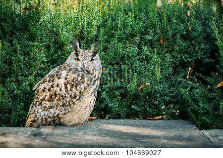 The Eurasian eagle-owl wild bird
