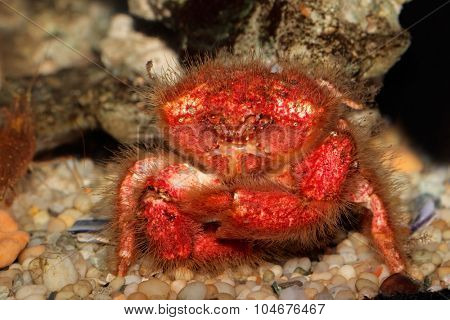Underwater view of a red hairy sponge crab (Dromidia spp.)