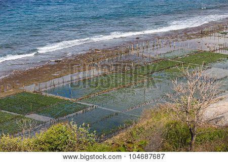 Seaweed Algae