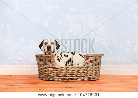Pure breed Dalmatian dog laying in animal bed
