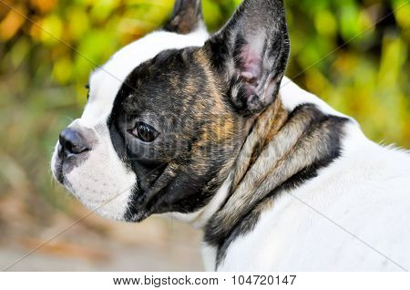 Absent Minded French Bulldog