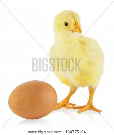 Little yellow chicken standing near egg