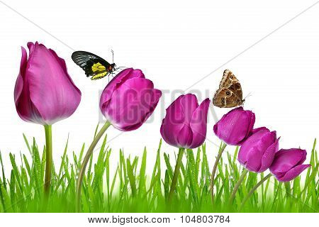 purple tulips