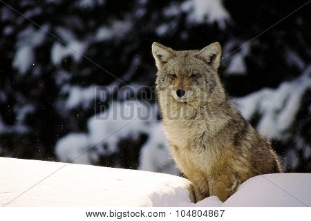 A winter wolf in the blowing snow sits atop a snaow bank.