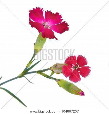 Branch Carnation Flower Crimson Red Color