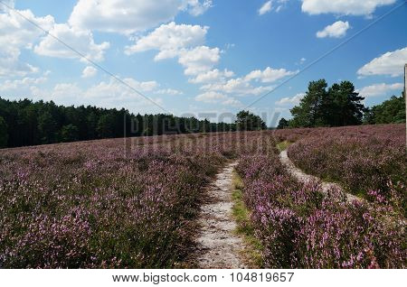 Heath in full bloom. Coach track in the Lueneburg Heath.