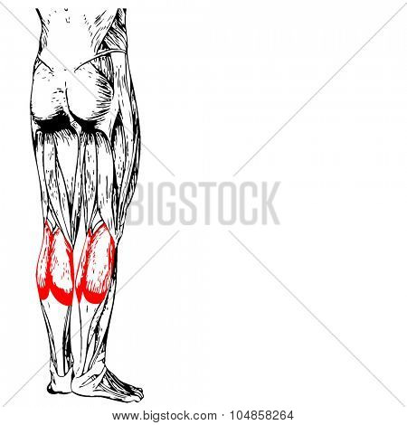 Concept or conceptual 3D gastrocnemius human lower leg anatomy or anatomical and muscle isolated on white background