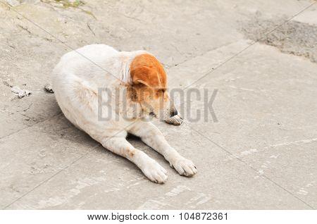 Sleepy Soi Dog