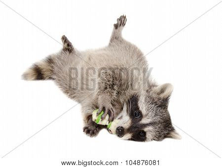 Funny raccoon chewing rawhide bone lying isolated on white background poster