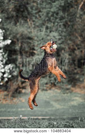 Airedale runs and jumps