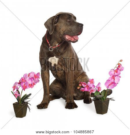 Cane Corso brindle sitting next to the beautiful orchids in pots isolated on white