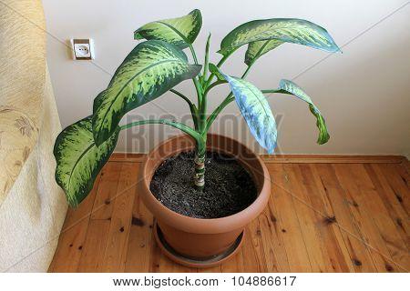 Dieffenbachia houseplant boolshimi in a pot