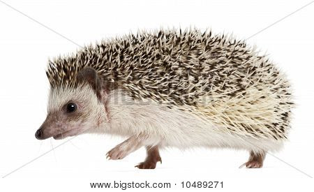 Four-toed Hedgehog Atelerix albiventris 2 years old walking in front of white background poster