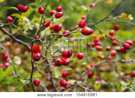 Red rose hips closeup
