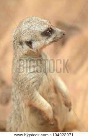Sitting suricate in Loro Park in Puerto de la Cruz on Tenerife, Canary Islands, Spain