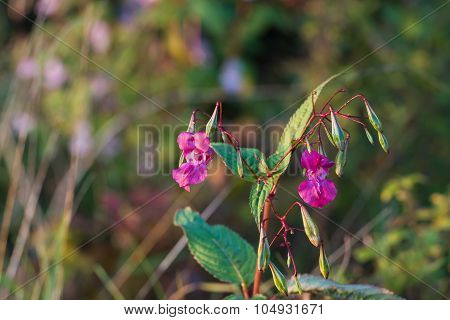 Purple Blooming Himalayan Balsam