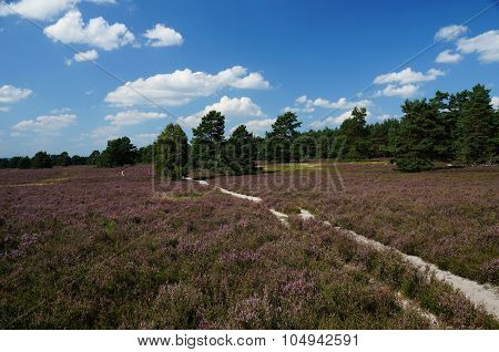 Trail through the Lueneburg Heath in full bloom.